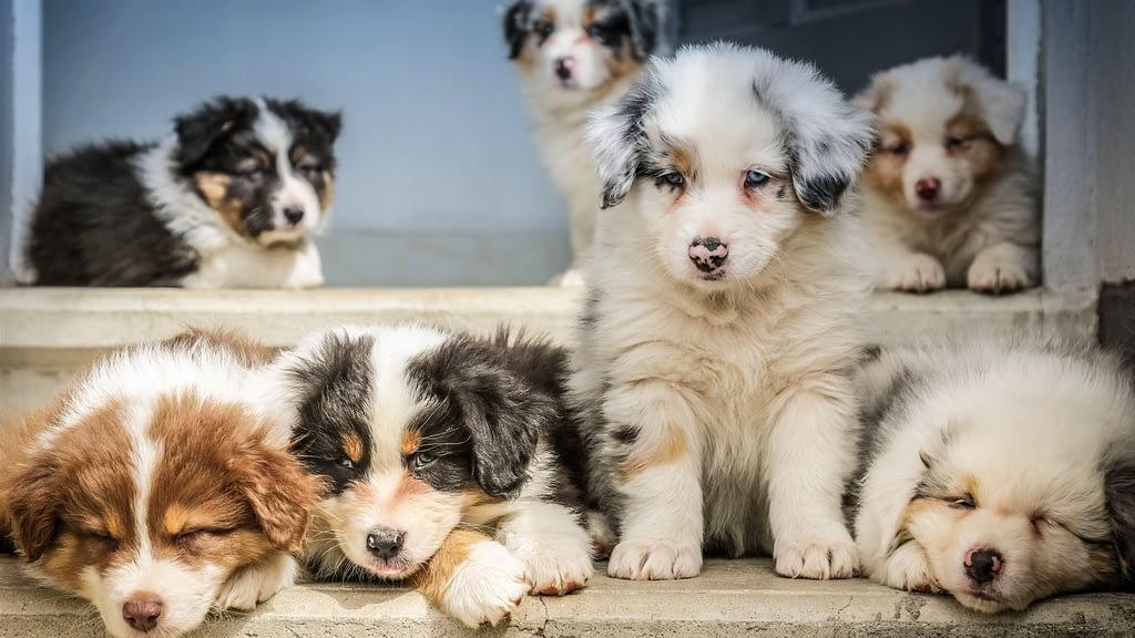 Puppy Programs